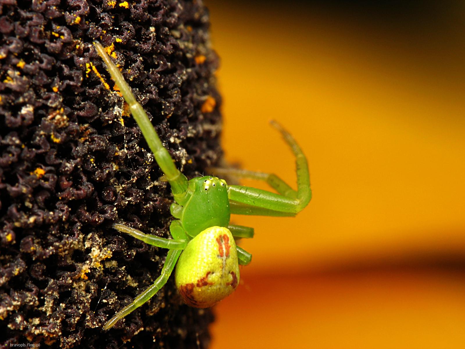 Zielonym być... #pająk