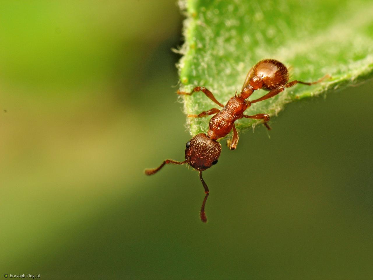 Na krawędzi... Mrówka #2