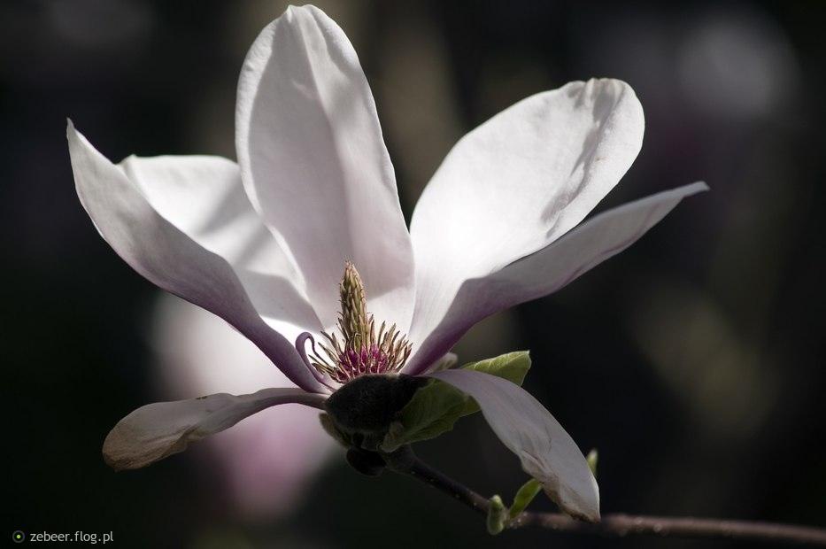 Magnolia w wiosenny poranek