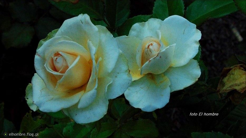 Białe róże ...